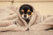 Chihuahua Puppy Lying Under A Blanket On The Couch poster