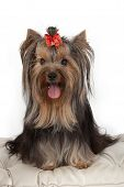 picture of banquette  - Yorkshire terrier on banquette - JPG