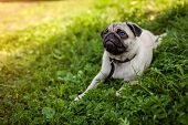 Pug Dog Lying On Green Grass. Happy Puppy Having Rest. Dog Enjoying Nature poster