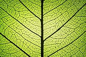 stock photo of photosynthesis  - leaf detail showing ribs and veins in backlight - JPG