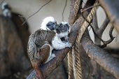 Cotton-headed Tamarin In Interaction With Small Baby Tamarin. Saguinus Oedipus poster