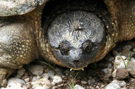 pic of the hare tortoise  - This tired old snapping turtle has a fruit fly along for the ride - JPG