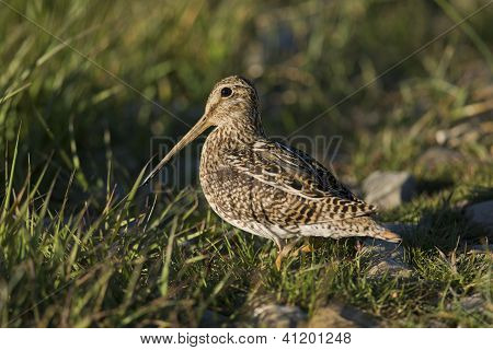 South American Snipe On The Grass