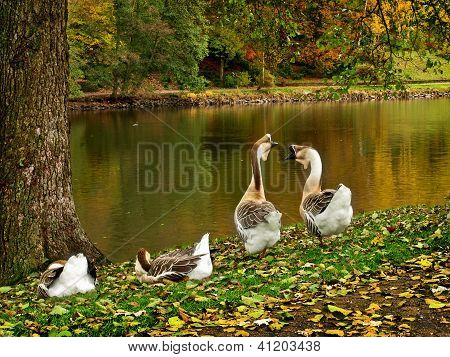 Wild Geese In The Park