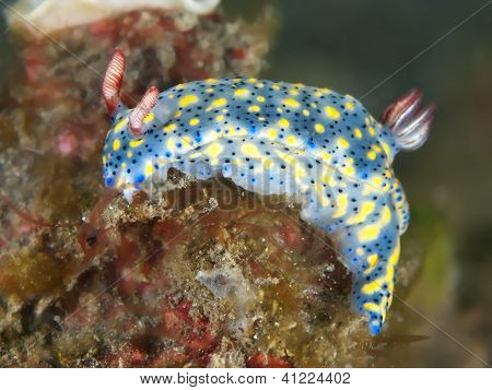 Nudibranch hypselodoris obscura