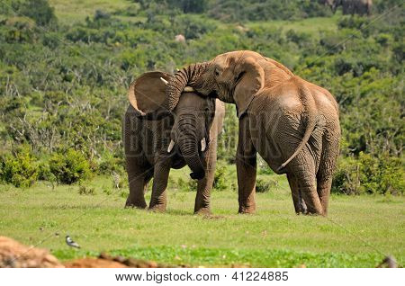 Two Elephants Fighting, Addo Elephant National Park, South Africa
