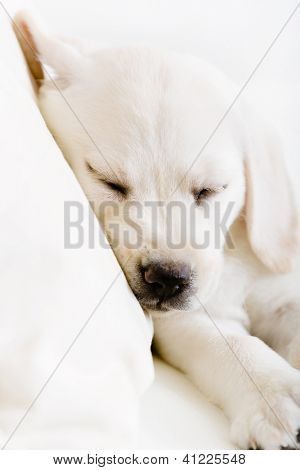 Close up of sleeping Labrador puppy on the white leather sofa