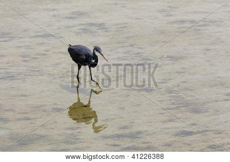 A black heron focusing for food