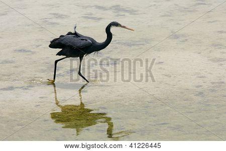 A black heron running after fish
