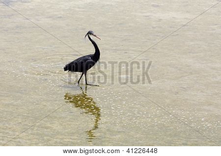 A beautiful black heron
