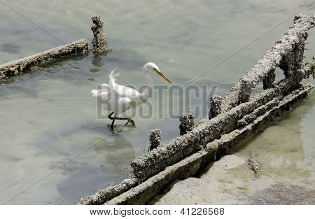 A white egret searching food near a wreckage boat