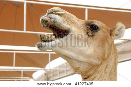 Closeup of a nuzzling camel