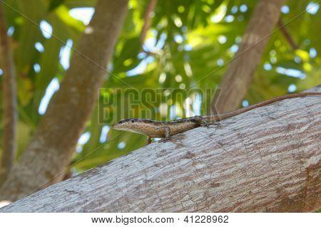 Seychelles Skink