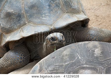 Tortoise Over Carapace