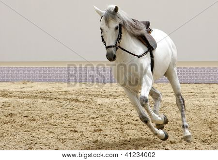 A beautiful white horse galloping on sand