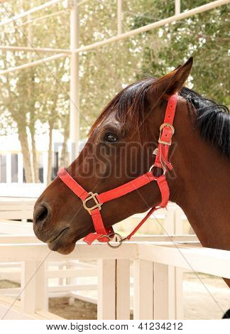 A beautiful Arabian horse of brown color