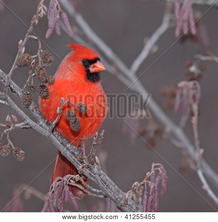 Male Northern Cardinal Profile