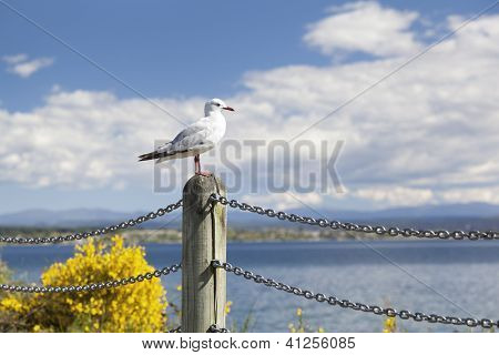 Seagull looking over Lake Taupo on the Northern island of New Zealand