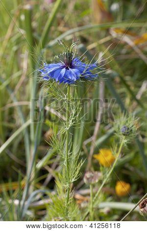 Nigella flower close up outdoors