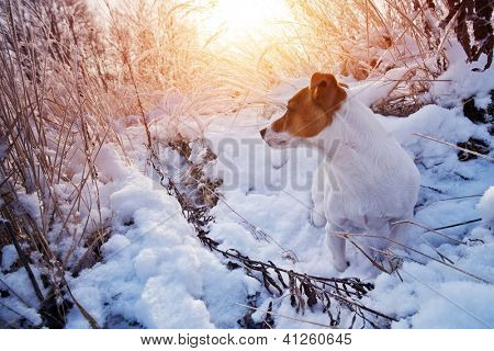jack russel in snow closeup