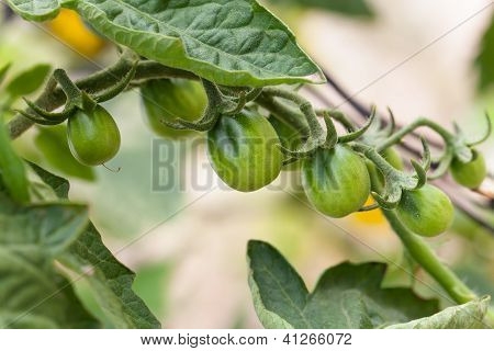 Red Pear Tomatoes