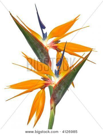 Bird Of Paradise Isolated