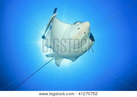 Spotted Eagle Ray and Remora Fish