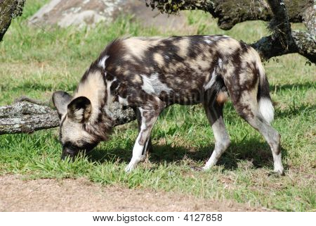Cape Hunting Dog