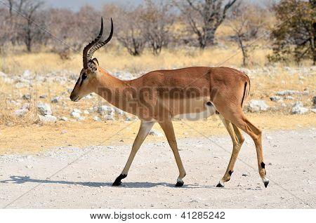 Male black-faced impala