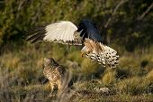 Male Cinereous Harrier Attacking A Female