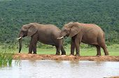 image of terrestrial animal  - Elephants in the Addo Elephant National Park South Africa - JPG