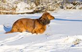 pic of long hair dachshund  - Long haired dachshund standing on snowy meadow - JPG