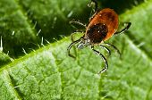 pic of ixodes  - Castor bean tick on the leaf - JPG