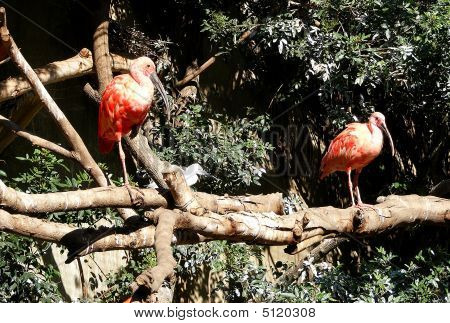 Perched Pink Ibis Birds
