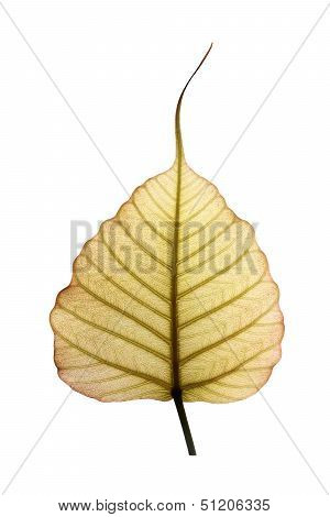 Heart Shaped Peepal Or Pipal Tree Leaf Isolated On White With Clipping Path