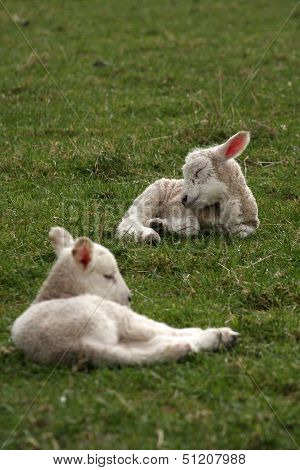 Sleeping Lambs Lying In Field