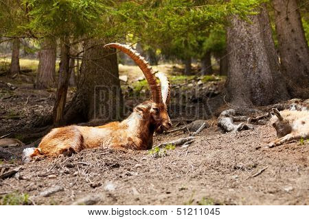 Ibex In A Mountain Forest