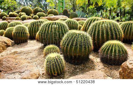 Giant Cactus In Nong Nooch Tropical Botanical Garden, Pattaya, Thailand.