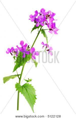 Wild Purple Mustard
