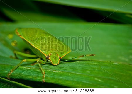Green Bug on Leaf