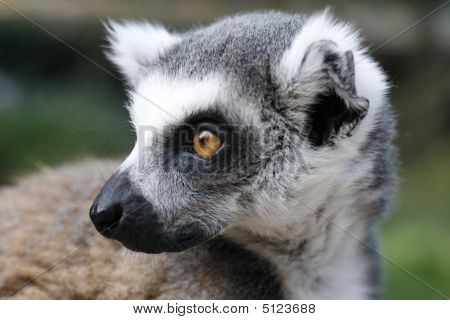 Monkey Lemur