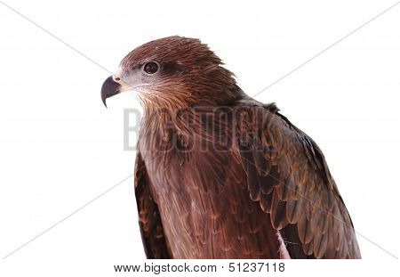 Black Kite Pariah Kite Milvus Migrans