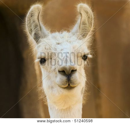 A Close Portrait Of A White Llama