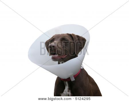 Brown Dog With Ruff On White Background