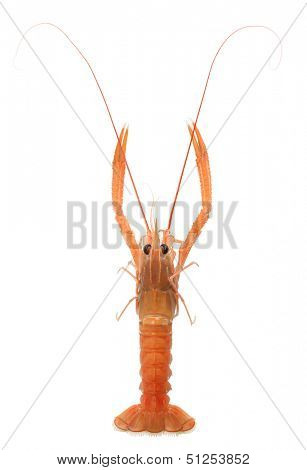 raw scampi isolated on white background
