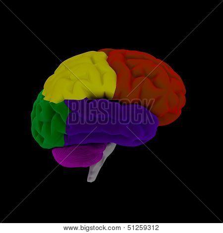 brain-cerebrum