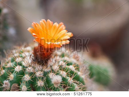 Cactaceae Parodia Carimnata With A Flower