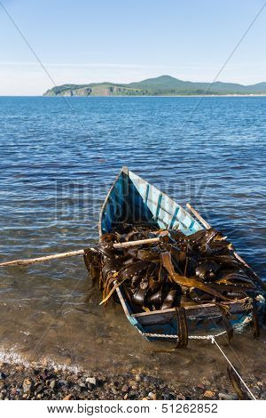 Boat with seaweed kelp stands near the shore. Russia. Japan sea.