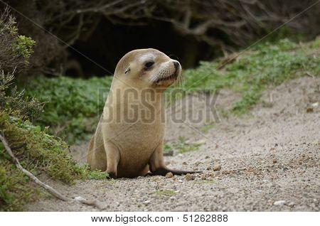 Sealion Pup