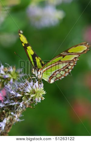 Beautiful Philaethria dido butterfly